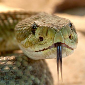 Jedovatý had predstavuje pre podnikateľa nezanedbateľné riziko