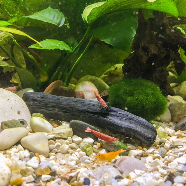 Binchio v akváriu so sladkovodnými krevetkami